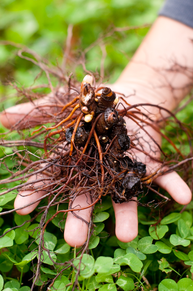 Black Cohosh Harvest
